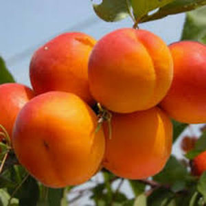 Vrtnarstvo Breskvar - Prunus armeniaca San Castrese