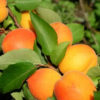 Vrtnarstvo Breskvar - Prunus armeniaca Somo