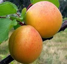 Vrtnarstvo Breskvar - Prunus armeniaca Vitillo