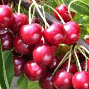 Vrtnarstvo Breskvar - Prunus avium Bigarreau Burlat