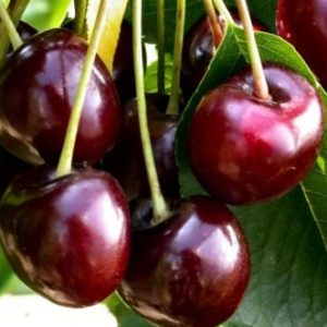 Vrtnarstvo Breskvar - Prunus avium Burlat