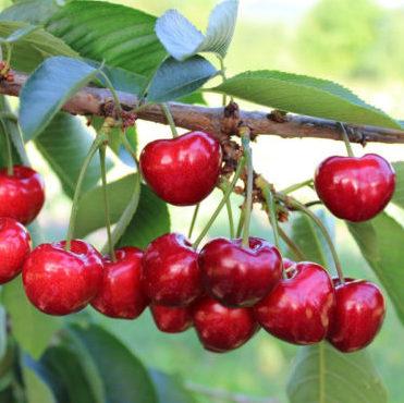 Vrtnarstvo Breskvar - Prunus avium Canada Giant