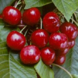 Vrtnarstvo Breskvar - Prunus avium Celeste