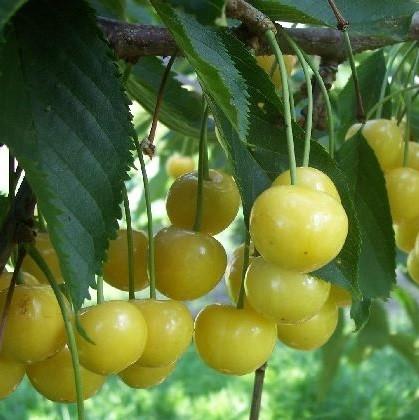 Vrtnarstvo Breskvar - Prunus avium Denisenova Rumena