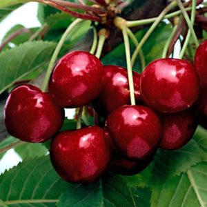 Vrtnarstvo Breskvar - Prunus avium Kordia