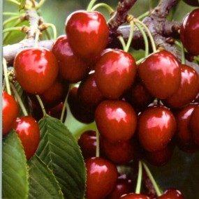 Vrtnarstvo Breskvar - Prunus avium Napoleon
