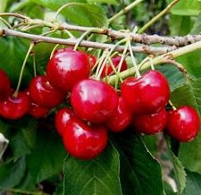 Vrtnarstvo Breskvar - Prunus avium New Star