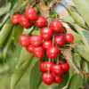 Vrtnarstvo Breskvar - Prunus avium Summer Sun
