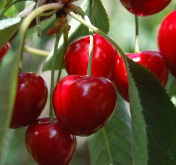 Vrtnarstvo Breskvar - Prunus avium Sunburst