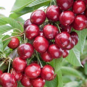 Vrtnarstvo Breskvar - Prunus avium Sweet Heart
