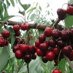 Vrtnarstvo Breskvar - Prunus avium Van