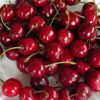 Vrtnarstvo Breskvar - Prunus avium Vigred