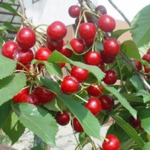 Vrtnarstvo Breskvar - Prunus cerasus Gorsemska