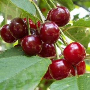 Vrtnarstvo Breskvar - Prunus cerasus Heiman