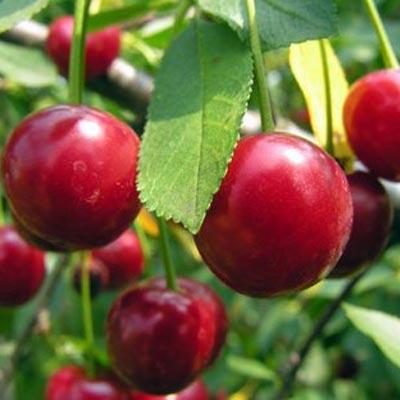Vrtnarstvo Breskvar - Prunus cerasus Hortenzija