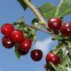 Vrtnarstvo Breskvar - Prunus cerasus Korund
