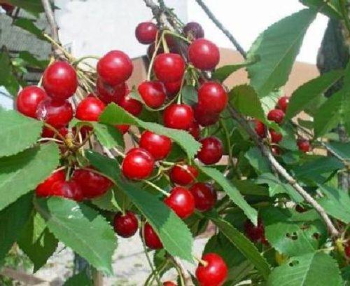 Vrtnarstvo Breskvar - Prunus cerasus Šumadinka