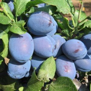 Vrtnarstvo Breskvar - Prunus domestica Čačanska Najbolja