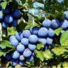 Vrtnarstvo Breskvar - Prunus domestica Čačanska Lepotica