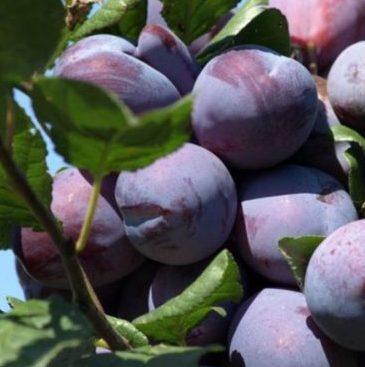 Vrtnarstvo Breskvar - Prunus domestica Čačanska Rodna