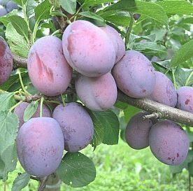 Vrtnarstvo Breskvar - Prunus domestica Čačanska Zgodnja