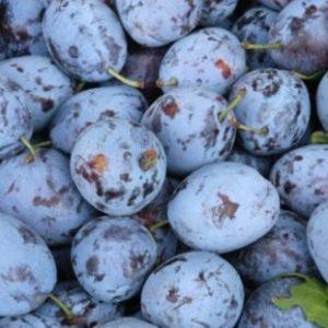 Vrtnarstvo Breskvar - Prunus domestica California Blue