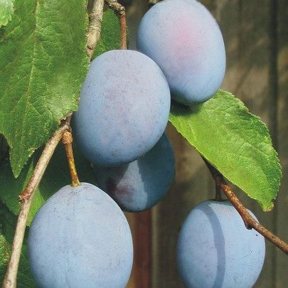 Vrtnarstvo Breskvar - Prunus domestica Domača Češplja