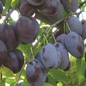 Vrtnarstvo Breskvar - Prunus domestica Fruca