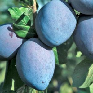 Vrtnarstvo Breskvar - Prunus domestica Grossa Di Felisio