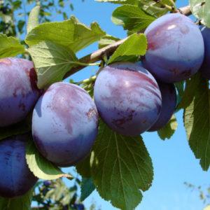 Vrtnarstvo Breskvar - Prunus domestica Hanita