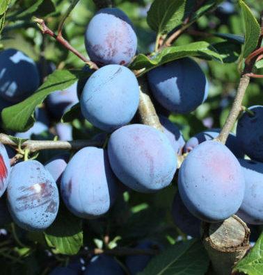 Vrtnarstvo Breskvar - Prunus domestica Haroma