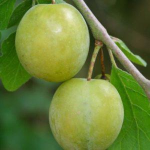 Vrtnarstvo Breskvar - Prunus domestica Imperial Gage