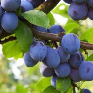 Vrtnarstvo Breskvar - Prunus domestica Jojo