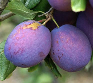 Vrtnarstvo Breskvar - Prunus domestica President