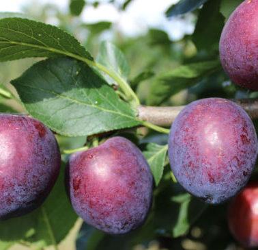 Vrtnarstvo Breskvar - Prunus domestica Ruth Gerstetter
