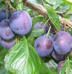 Vrtnarstvo Breskvar - Prunus domestica Stanley