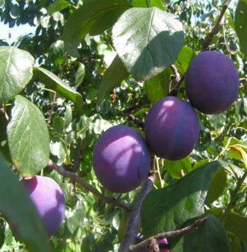 Vrtnarstvo Breskvar - Prunus domestica Valor