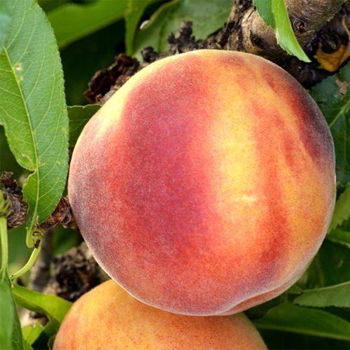 Vrtnarstvo Breskvar - Prunus persica Amber Pix Zee