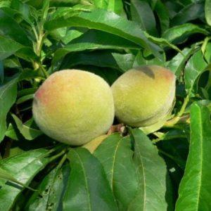 Vrtnarstvo Breskvar - Prunus persica Bonanza