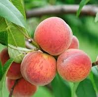 Vrtnarstvo Breskvar - Prunus persica Cardinal