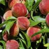 Vrtnarstvo Breskvar - Prunus persica Grazia