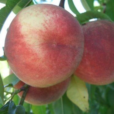 Vrtnarstvo Breskvar - Prunus persica Maria Bianca