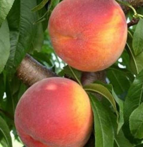 Vrtnarstvo Breskvar - Prunus persica Maria Marta