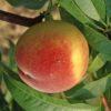 Vrtnarstvo Breskvar - Prunus persica Maycrest
