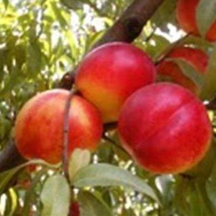 Vrtnarstvo Breskvar - Prunus persica nucipersica Caldesi 2000
