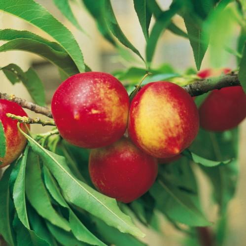 Vrtnarstvo Breskvar - Prunus persica nucipersica Rubis