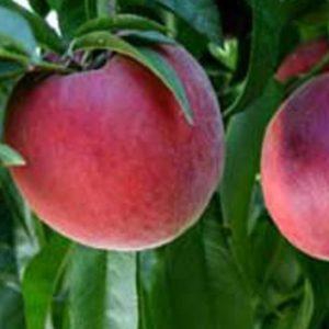 Vrtnarstvo Breskvar - Prunus Persica Royal Gem