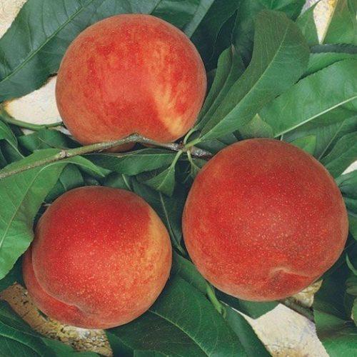 Vrtnarstvo Breskvar - Prunus persica Spring Lady