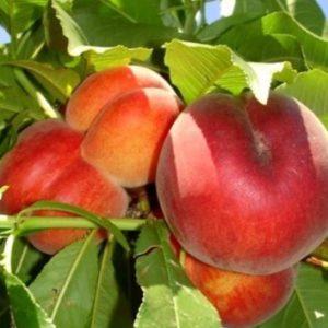 Vrtnarstvo Breskvar - Prunus persica Springcrest