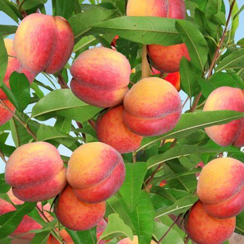 Vrtnarstvo Breskvar - Prunus persica Suncrest